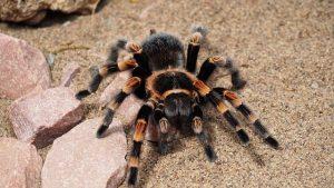 tarantula-1416353_640