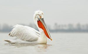 1231__800x800_dalmatian-pelican-from-ground-level-_w3c8283-lake-kerkini-greece