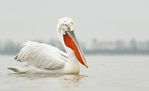 1231__800x800_dalmatian-pelican-from-ground-level-_w3c8283-lake-kerkini-greece