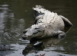 250px-crocodylus