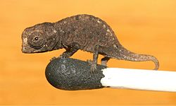 brookesia_micra_on_a_match_head