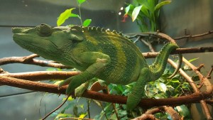 chameleon-1133123_640