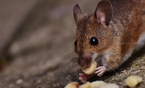 mouse-1751232_640