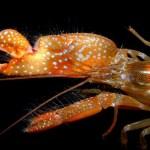 テッポウエビがプラズマを出す!?キャビテーションの衝撃波がスゲーらしい。