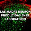 Células madre neuronales producidas en el laboratorio