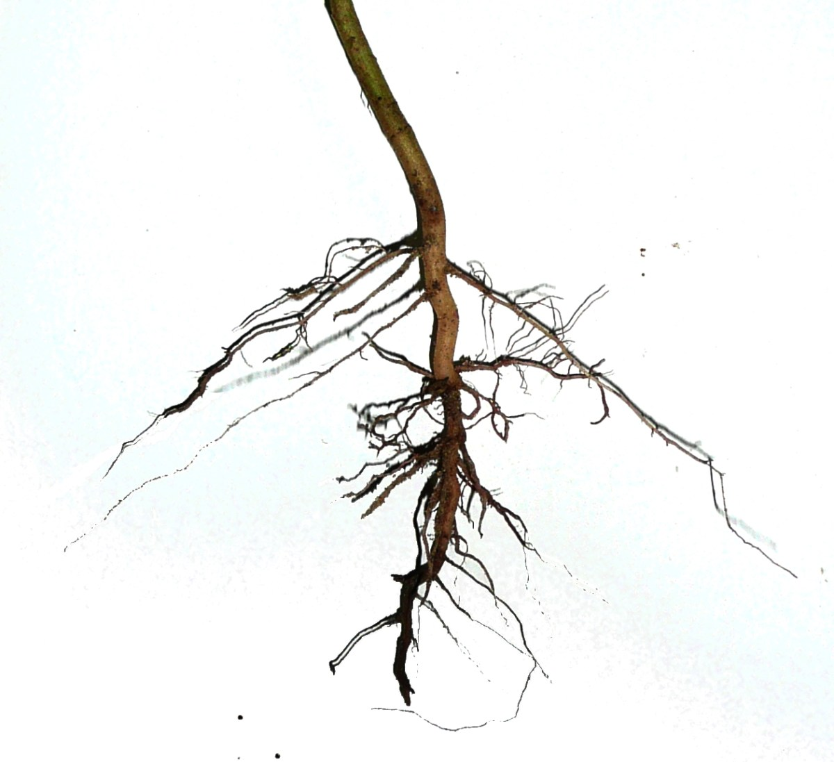 dicotyledoneae_asteraceae_herb_-_root_system_primary_root_becomes_tap_root_and_lateral_roots