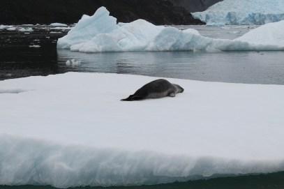 Un lobo marino descansando
