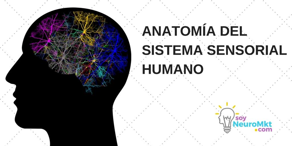 Anatomía del Sistema Sensorial Humano   Soy Neuro Marketing