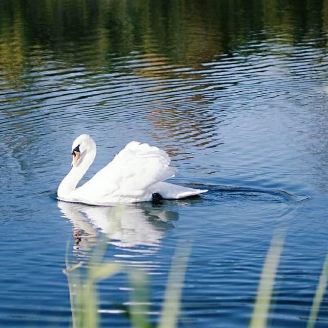 Le vilain petit canard      swanhellip