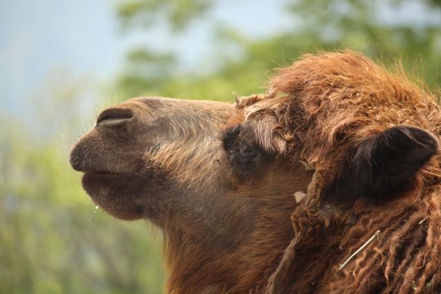 ラクダの横顔