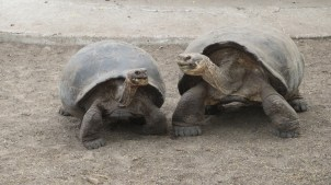 Paloma Tortoises Fighting