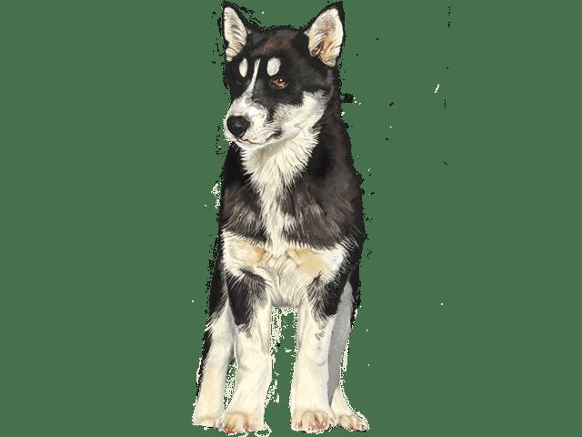 犬(ハスキー)