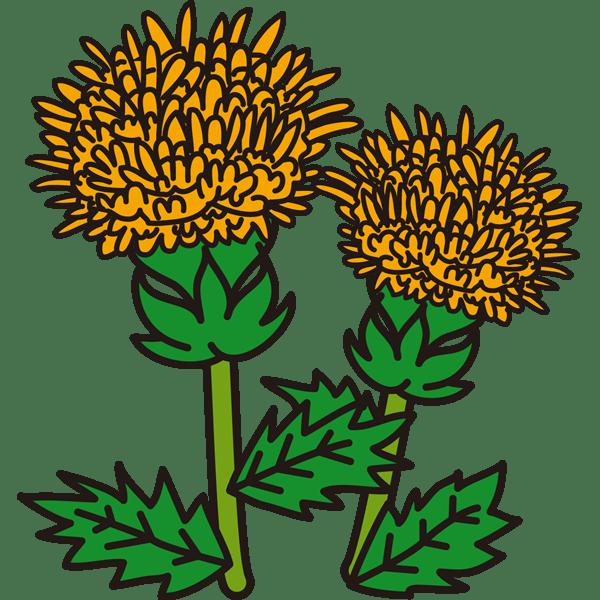 植物 紅花(黄色)(カラー)