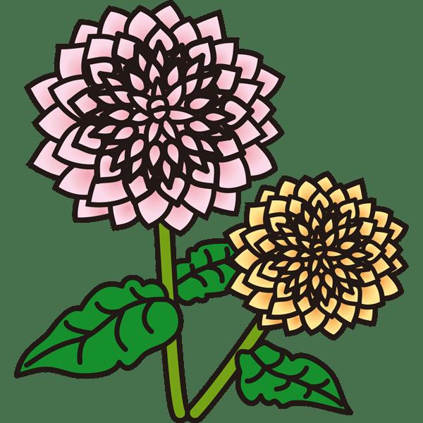 植物 ダリア(カラー)