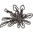 植物 ホトケノザ(モノクロ)