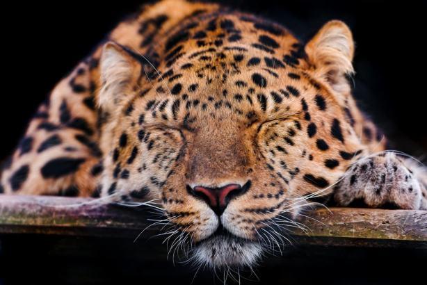 Cute sleepy leopard