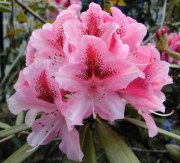 Rhododendron_rouge
