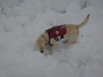 SMR search dog searches avalanche debris on Granite Mountain, 4/13/13.  Photo: Seattle Mountain Rescue Facebook page