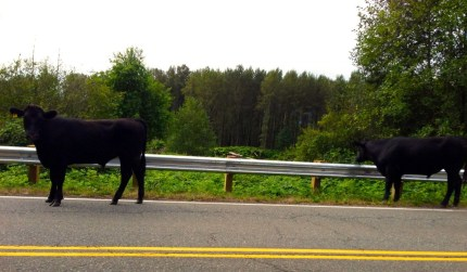 Cows spotted on August 17, 2013 on Reinig Road near Snoqualmie.