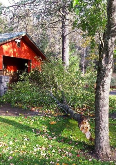 Trees at Riveview Park in Snoqualmie were hit hard by storm on 10/25/14. Pic: Dorothy Ottinger
