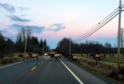 Elk heard crossing SR 202 between Snoqualmie and North Bend, 1/15/2015.
