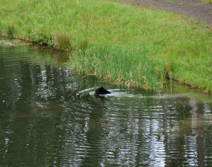 bear swimming edit 5