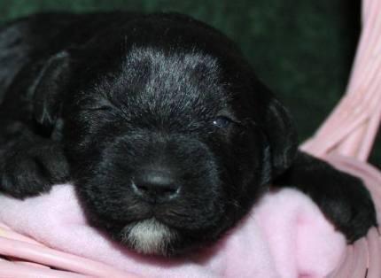 Melissa's new puppy - 12 days old.
