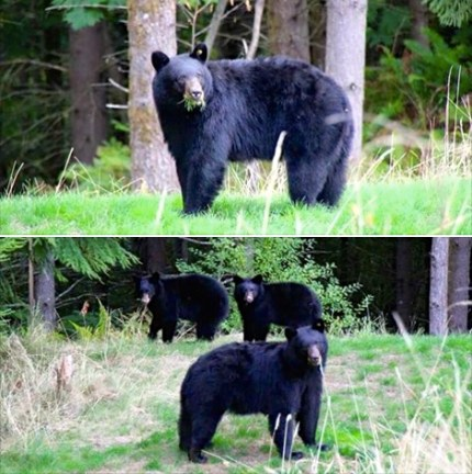 bears in my yard