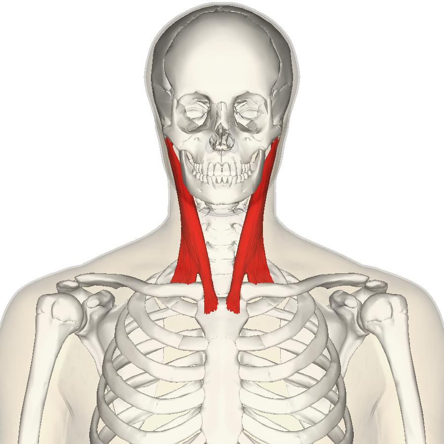 ワイズルーム 胸鎖乳突筋