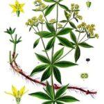 rubia_tinctorum_-_kohler-s_medizinal-pflanzen-123