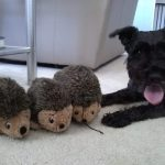 Proud schnauzer with his three hedgehog toys