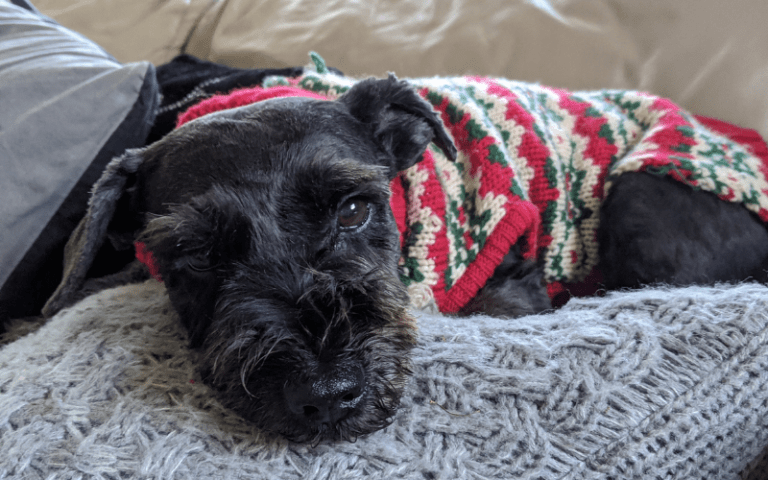 Miniature schnauzer in a festive holiday sweater