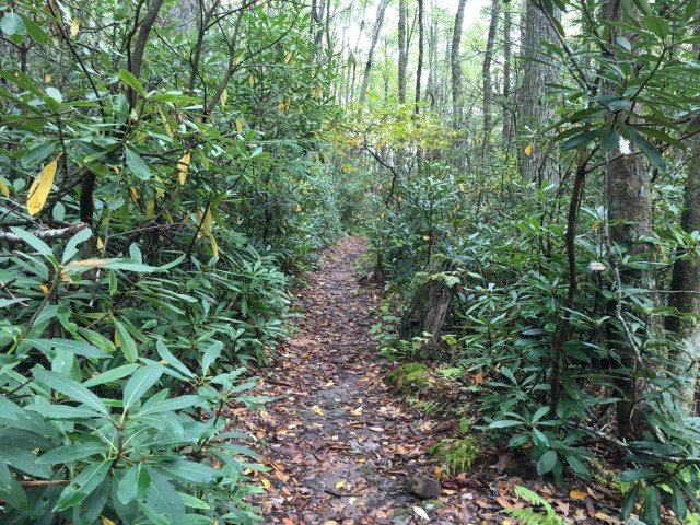 A leaf strewn trail, framed by tall Rhododendrons.