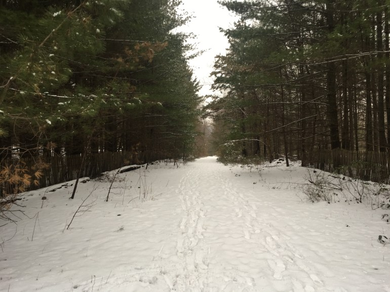 Snow covered flat trail that looks like a road lines with large pine trees