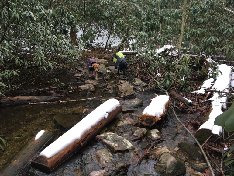 Two hiking dogs in winter coats cross the rocks and logs in a stream