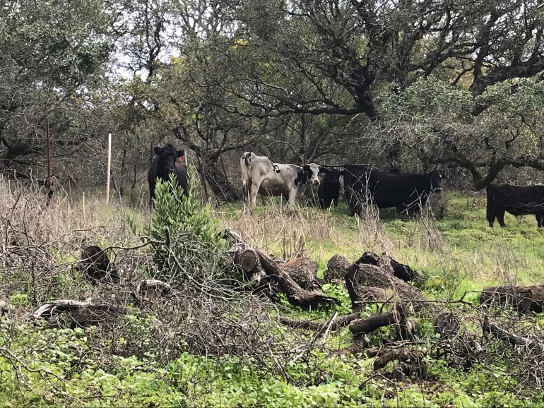 A group of black and white cows stand together under some trees