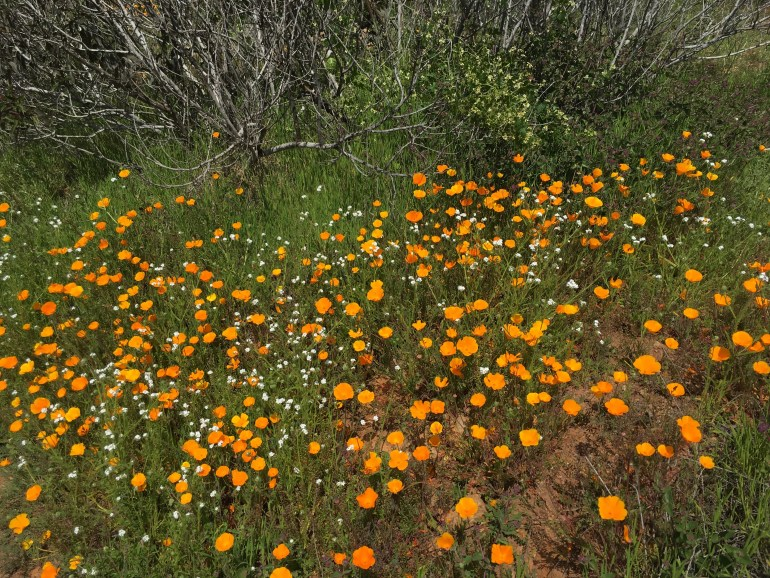A mass of yellow-gold wildflowers