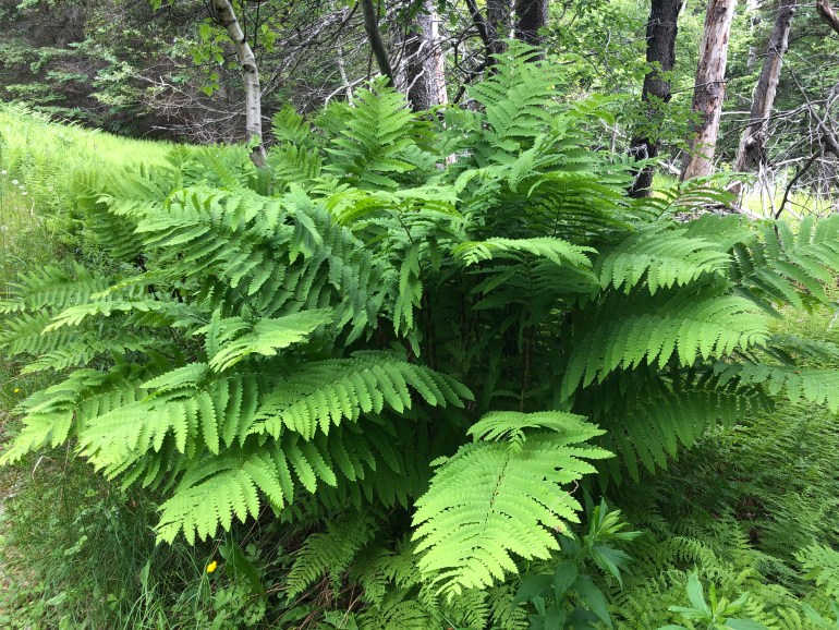 Close up of oversized green ferns