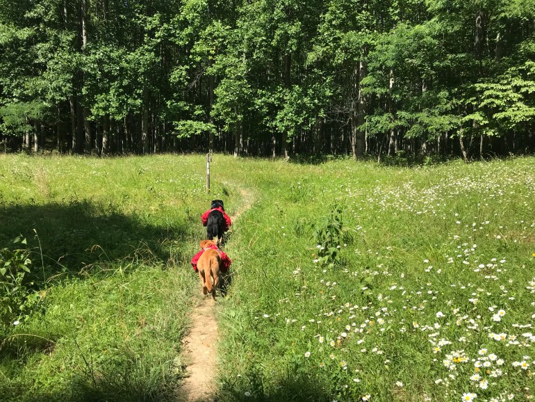A black dog followed by a brown dog, each wearing a red backpack and walking on a narrow trail through a field of white wildflowers.