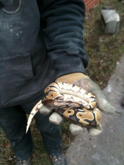 This is a ball python that was found in the a wall during demo. It was frozen and we thought it was dead. After a few minutes next to a space heater, it woke up and one of the construction workers took it home as a pet...where it had twelve baby snakes! True story.