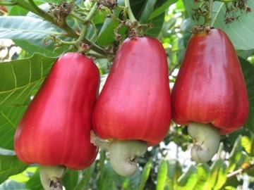 cashew-fruitvv