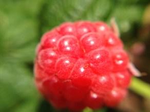 autumn raspberry