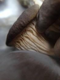 oyster espresso mushrooms2