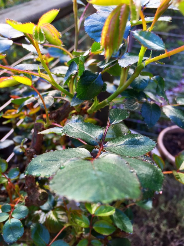 Roses are leafing out