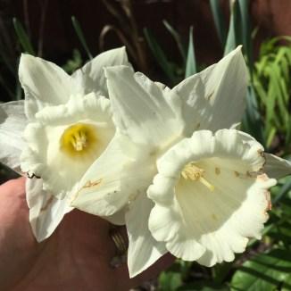Daffodils April 2018