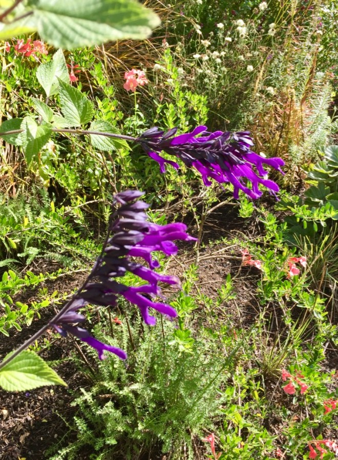 Salvia 'Amistad', in back Salvia greggii (I am not sure of the variety but it is lovely salmon color)