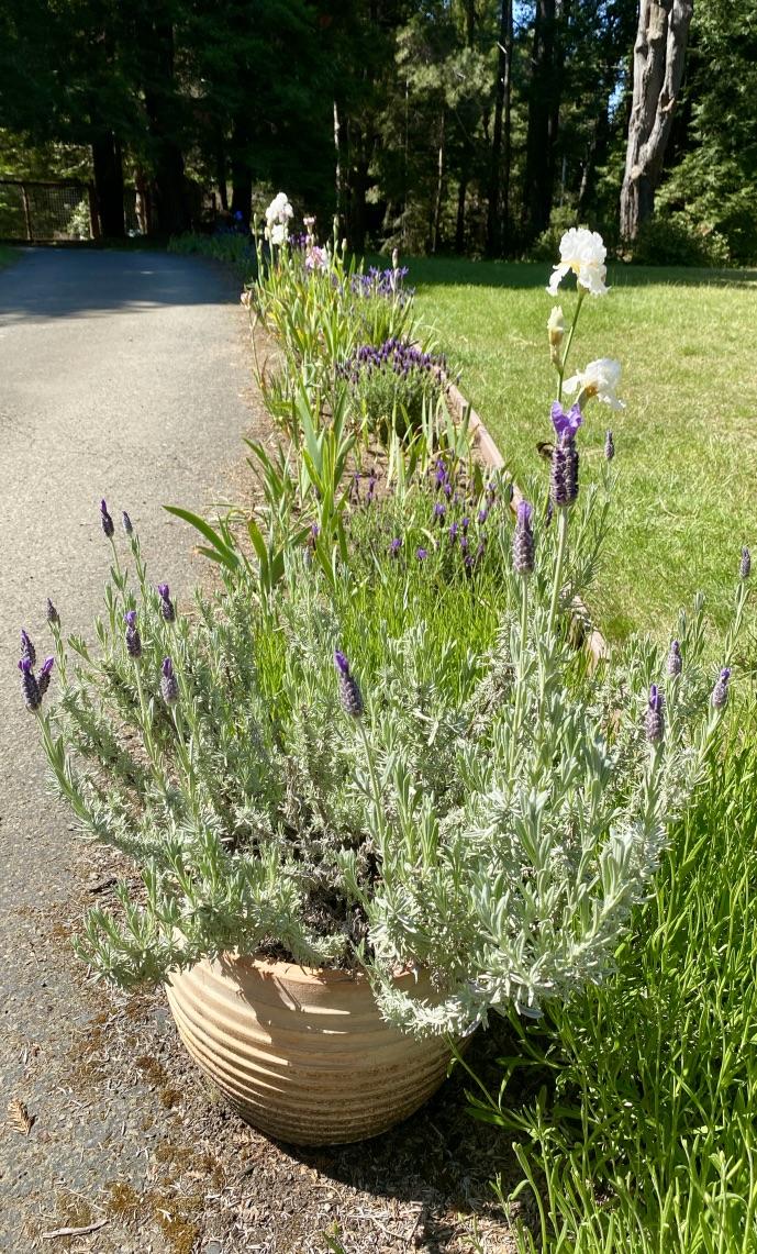 Spanish lavender and Bearded Iris