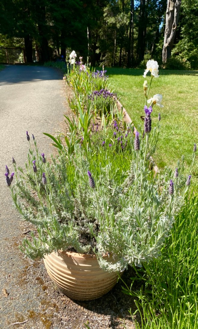 Spanish lavender and Bearded Iris