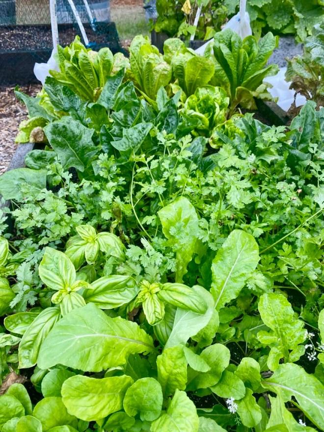 lettuce, cilantro, basil and arugula