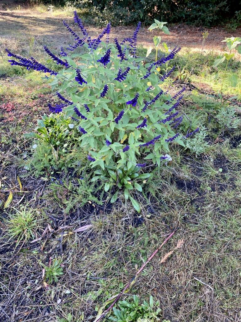 Perennial Salvia Blooming